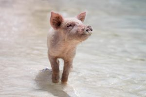 Piglet enjoying sun, sand, and water.